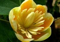 Liriodendron-tulipifera-seed